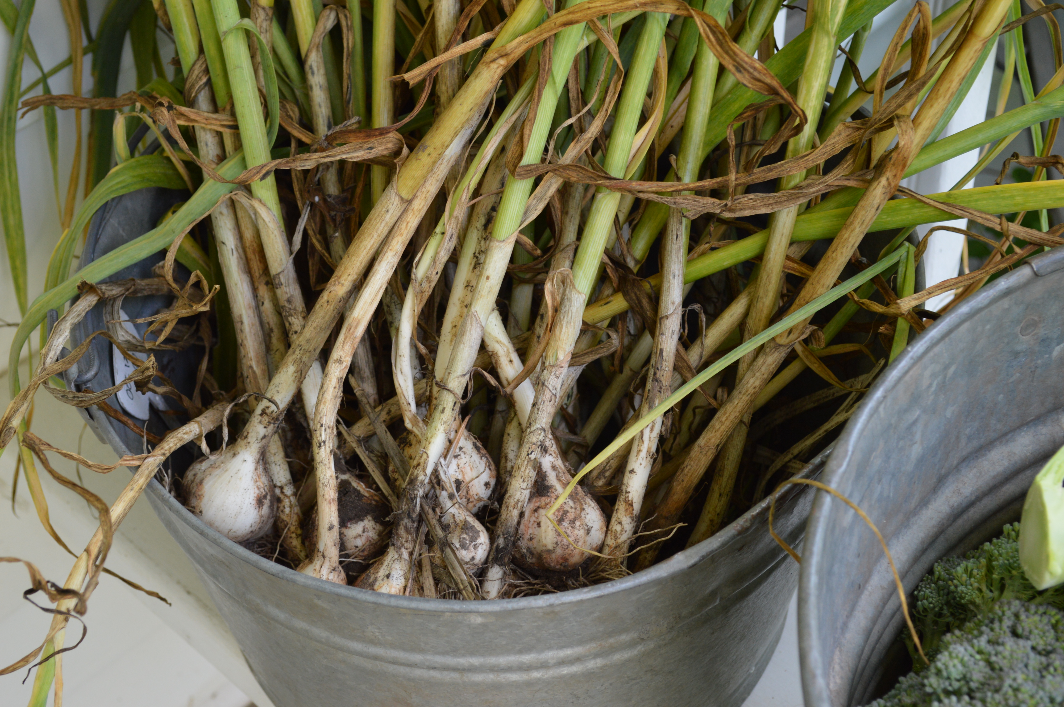 Garlic ready to be hung and cured in our barn.